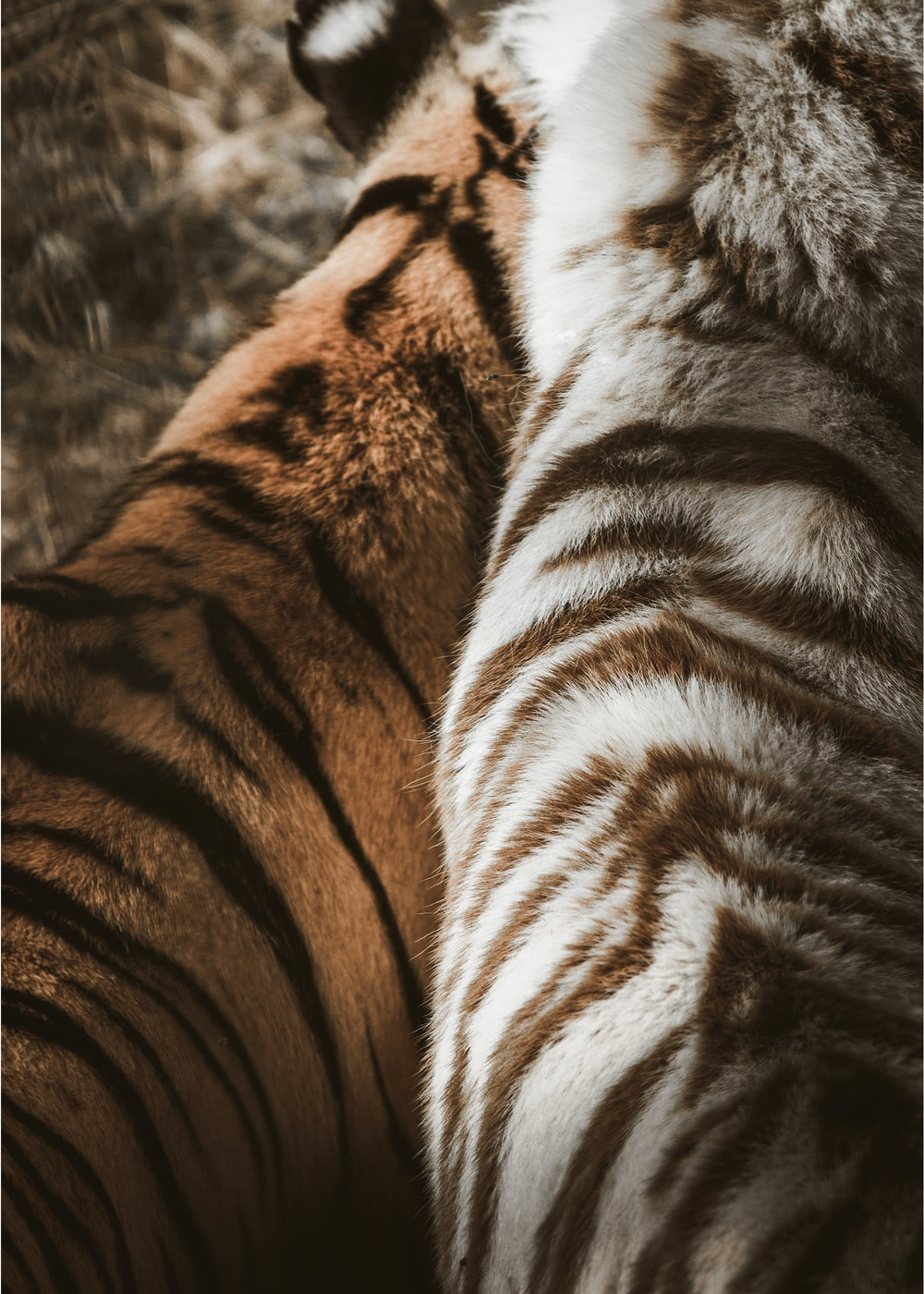 two white and brown tigers