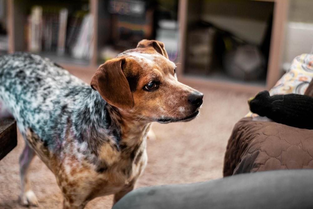 dog standing near brown sofa
