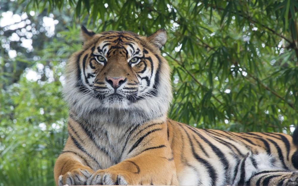 Bengal tiger lying under tree