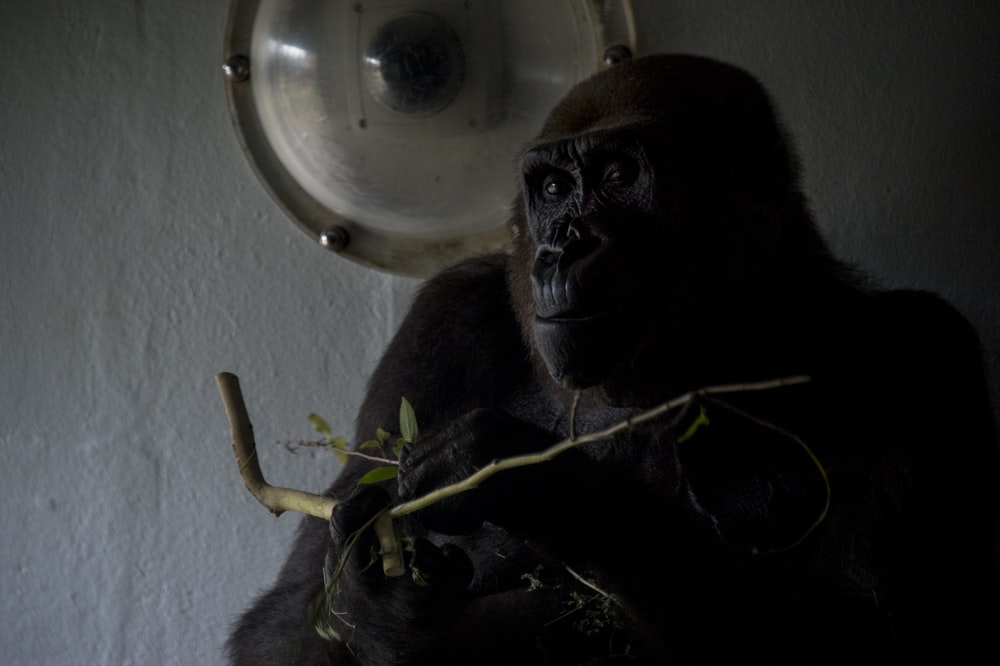 photo of brown and black monkey