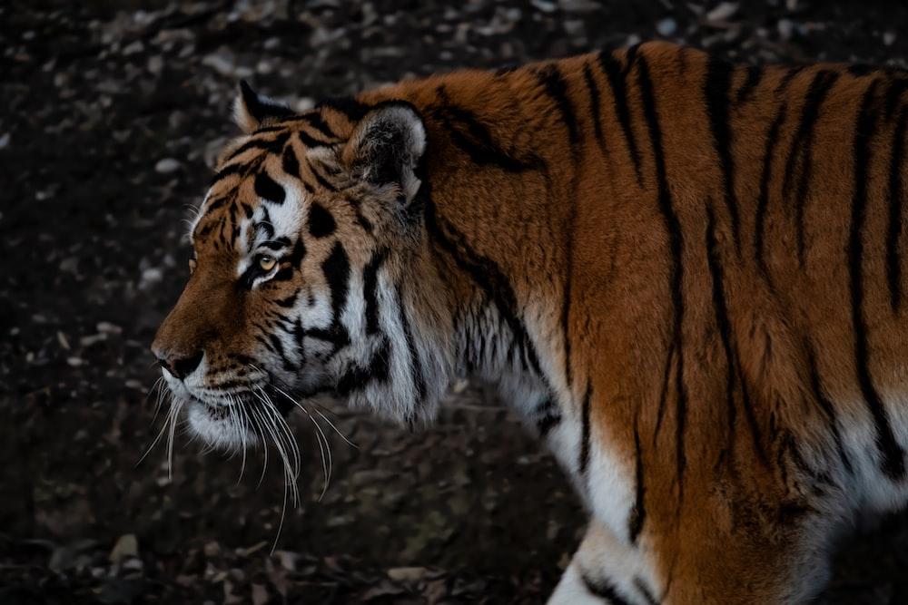 selective focus photography of Bengal tiger