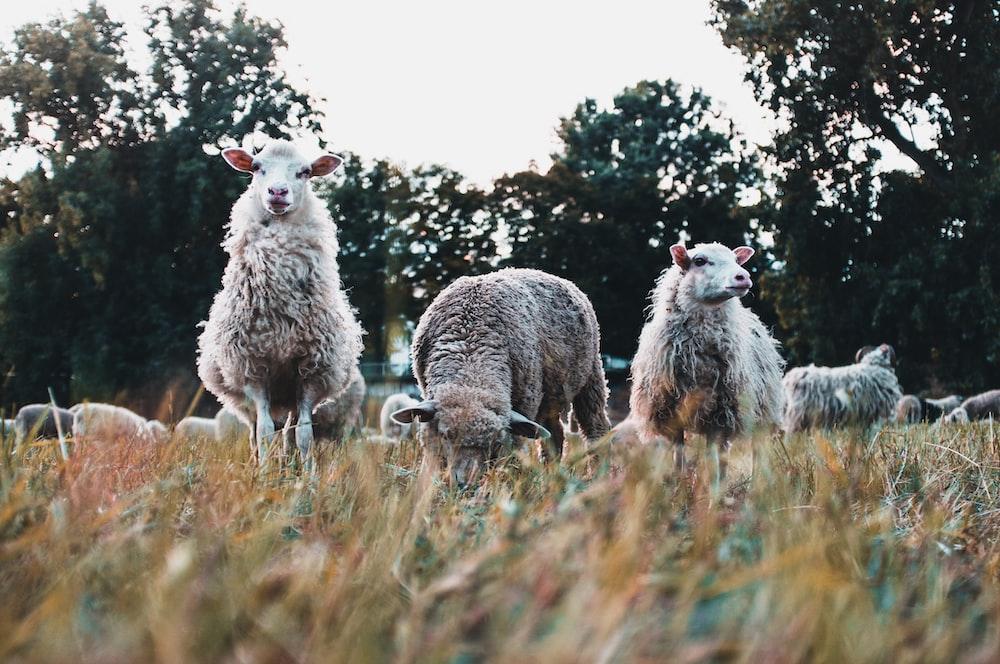 three white sheeps on grass