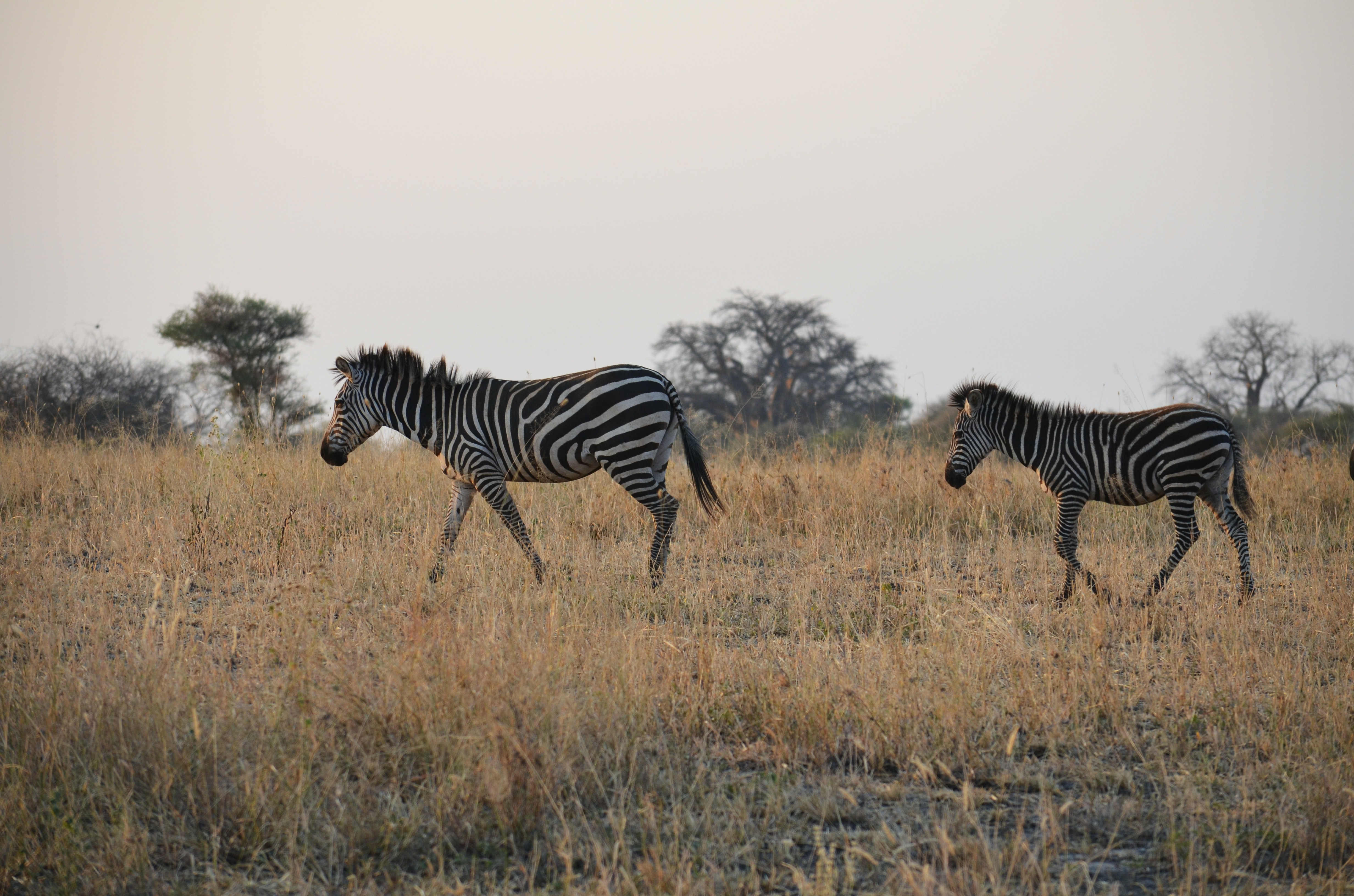 two zebras walking on brown grass fields