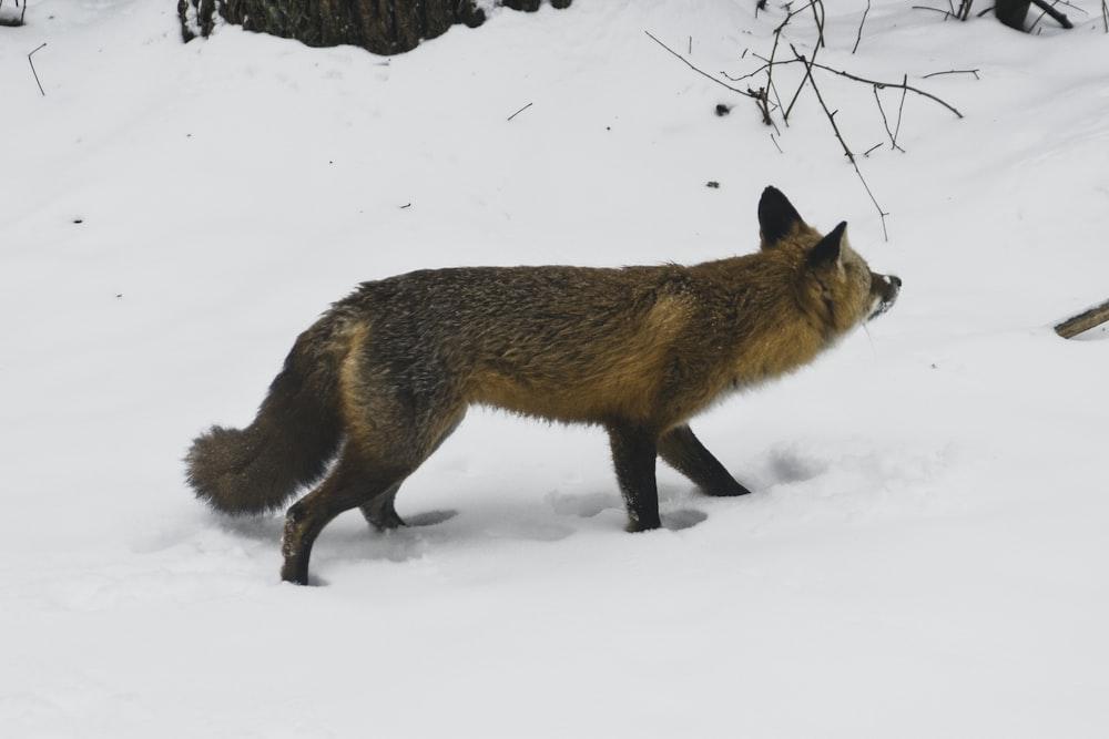 brown fox on snow