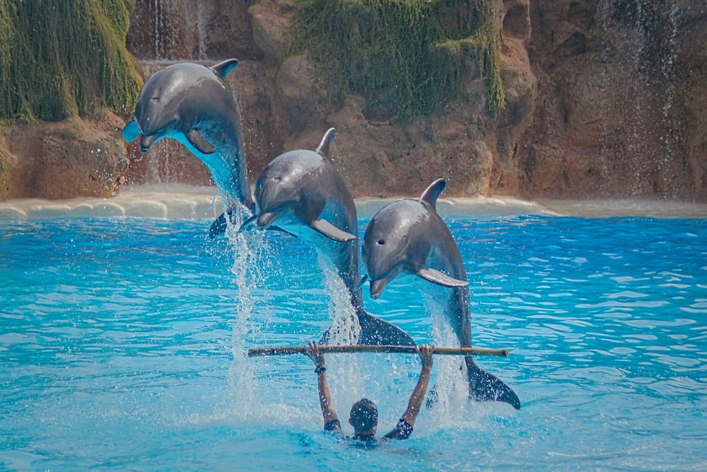 three dolphins jump over man