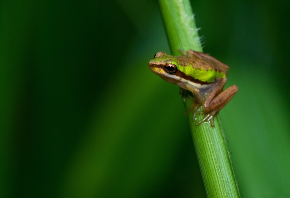 brown and green frog on green stem