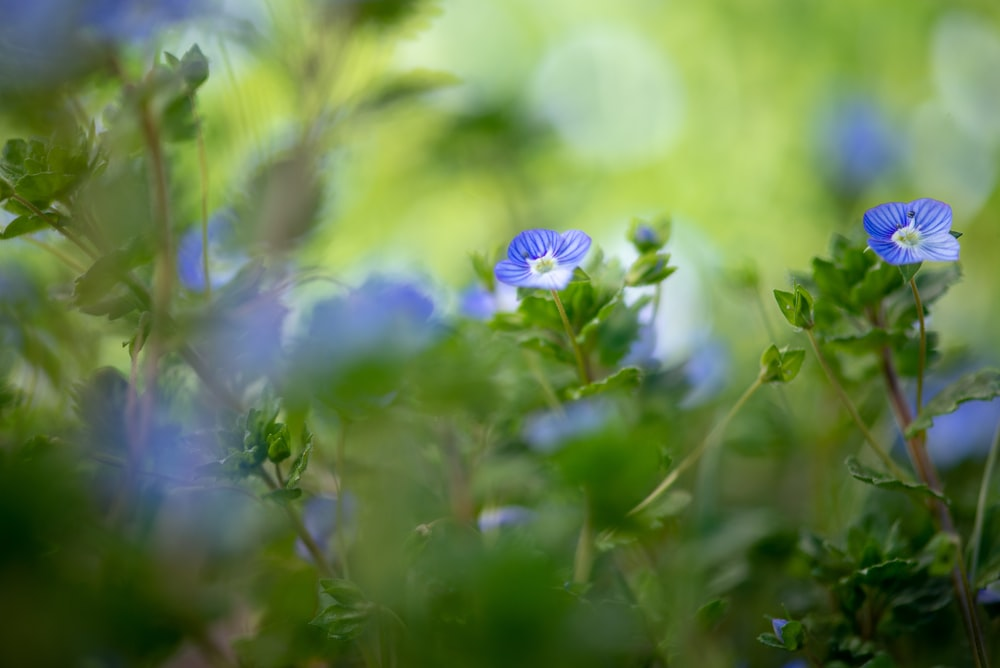 bokeh photography of green-leafed plant with blue flowers