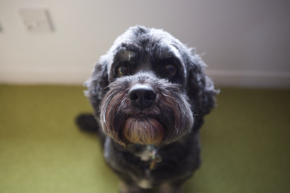 gray long-coated dog