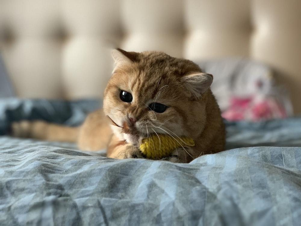 orange short-fur cat on top of bed