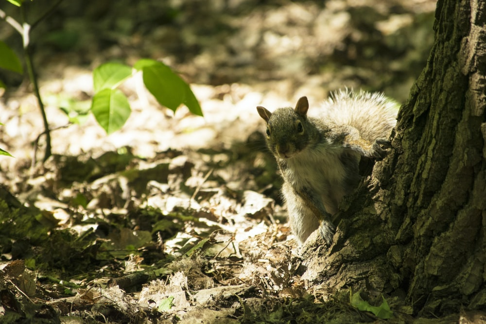 gray squirrel by tree trunk on groud