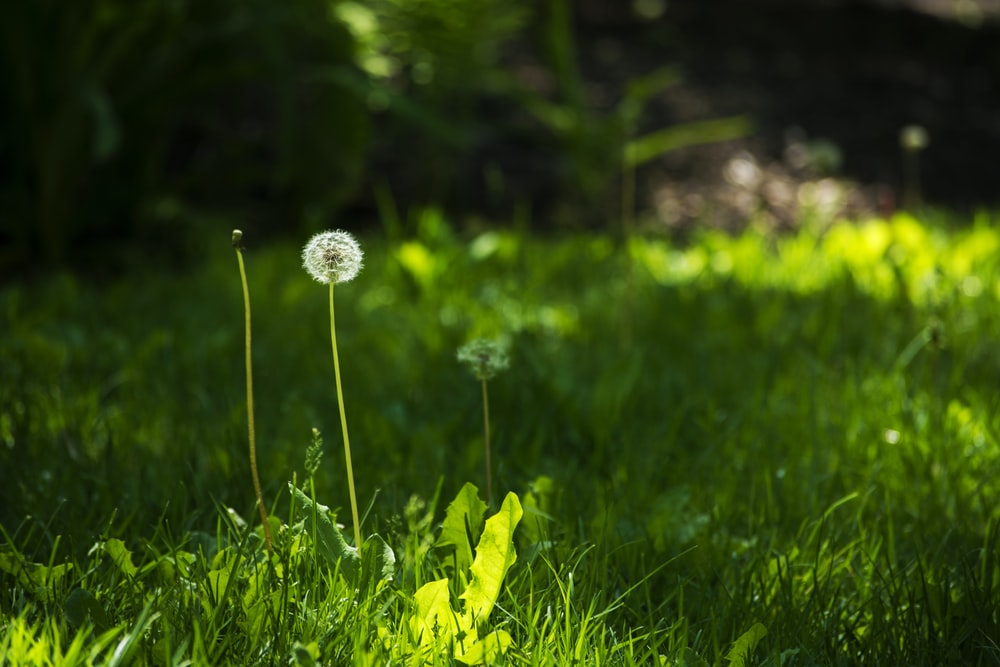 selective focus photography of white dandelion flower during daytime