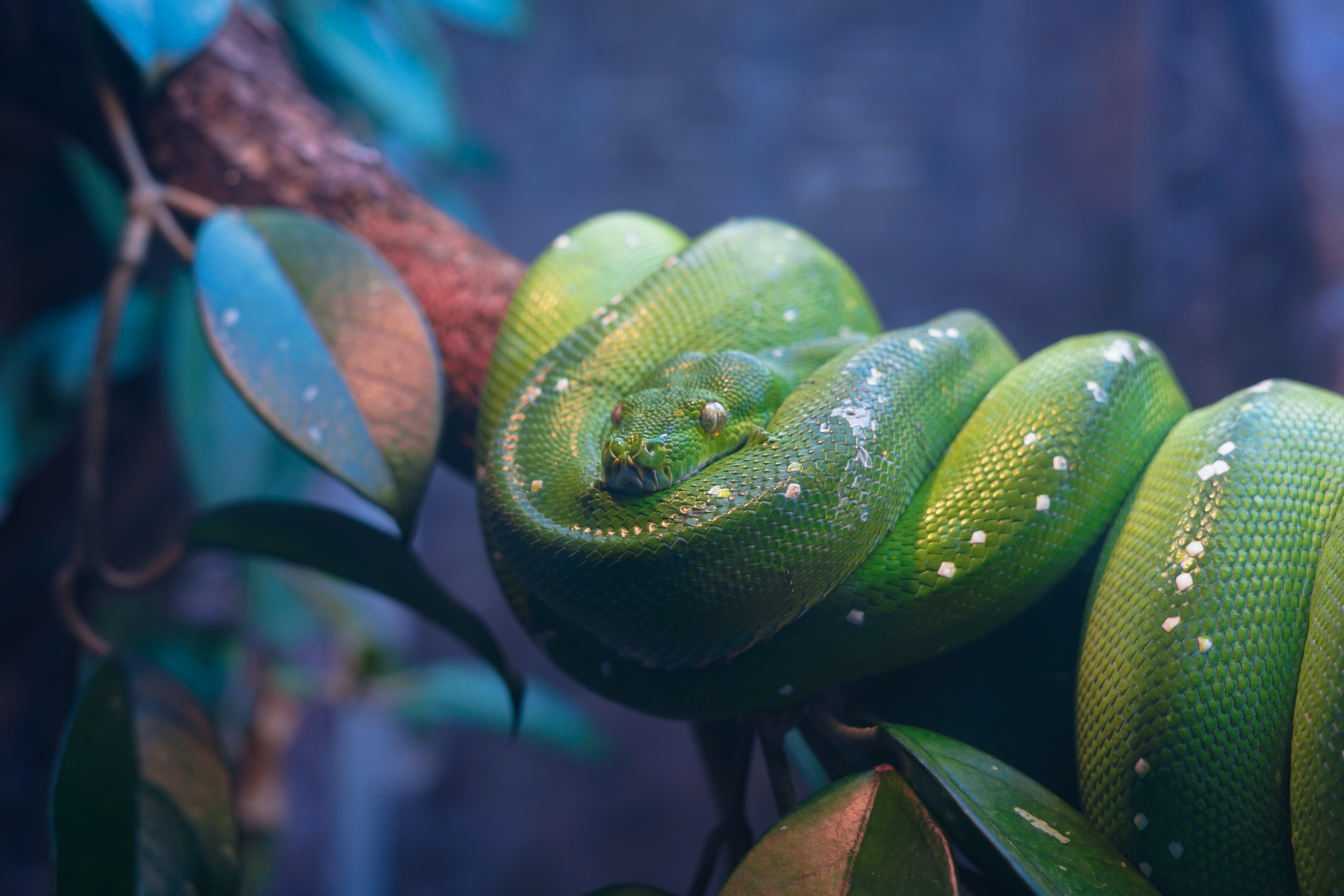 pit viper coiled on tree branch