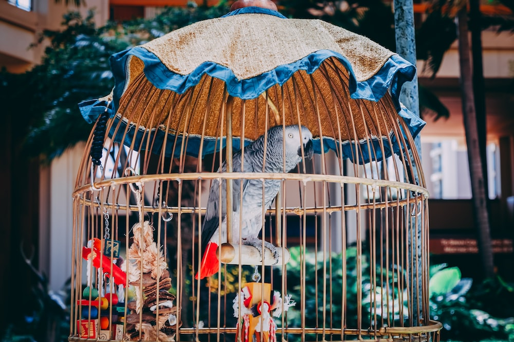 gray parrot in bird cage