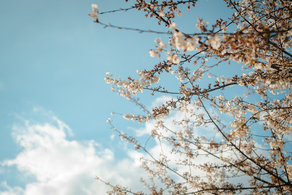 low angle photo of blossom flowers under blue sky