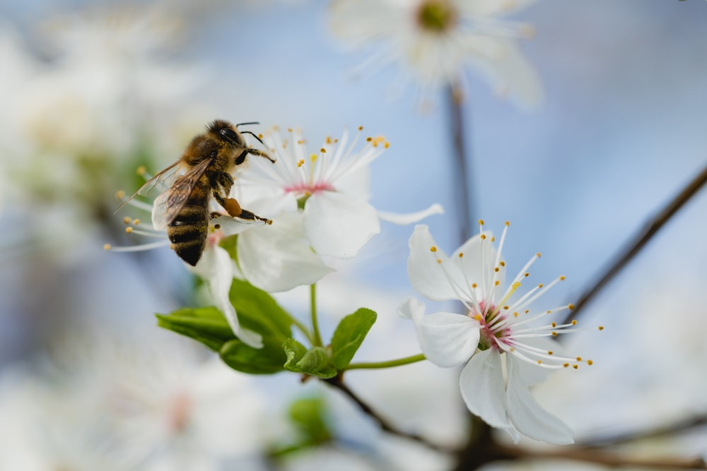 bee on the white petaled flower