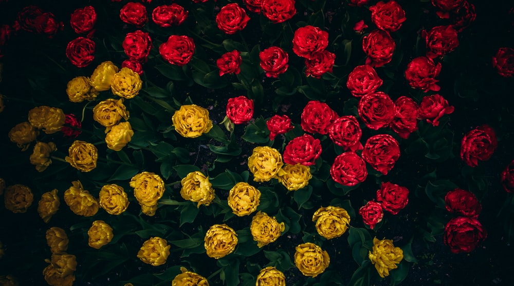 yellow and red roses blooming