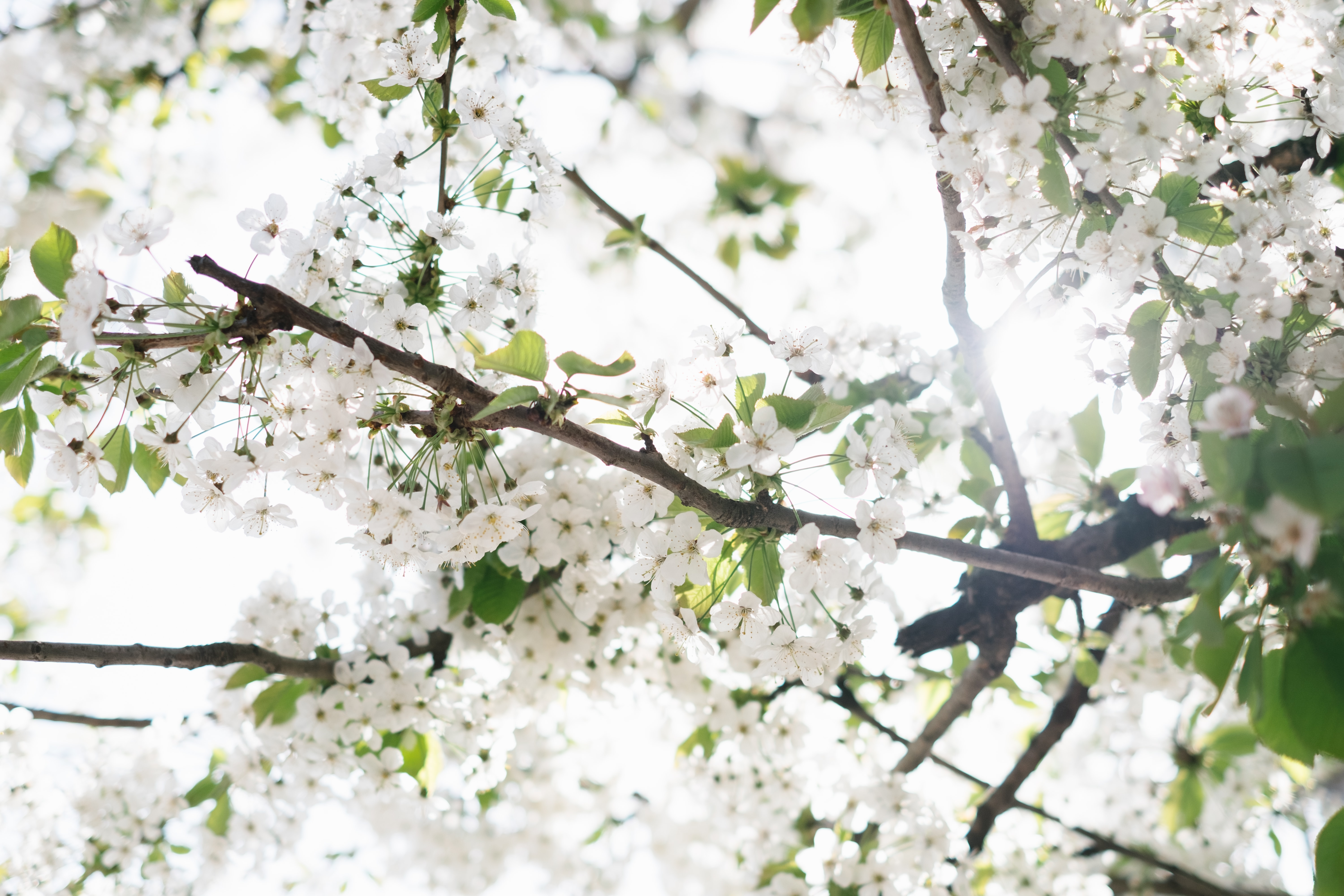 low angle photo of white blossom flowers