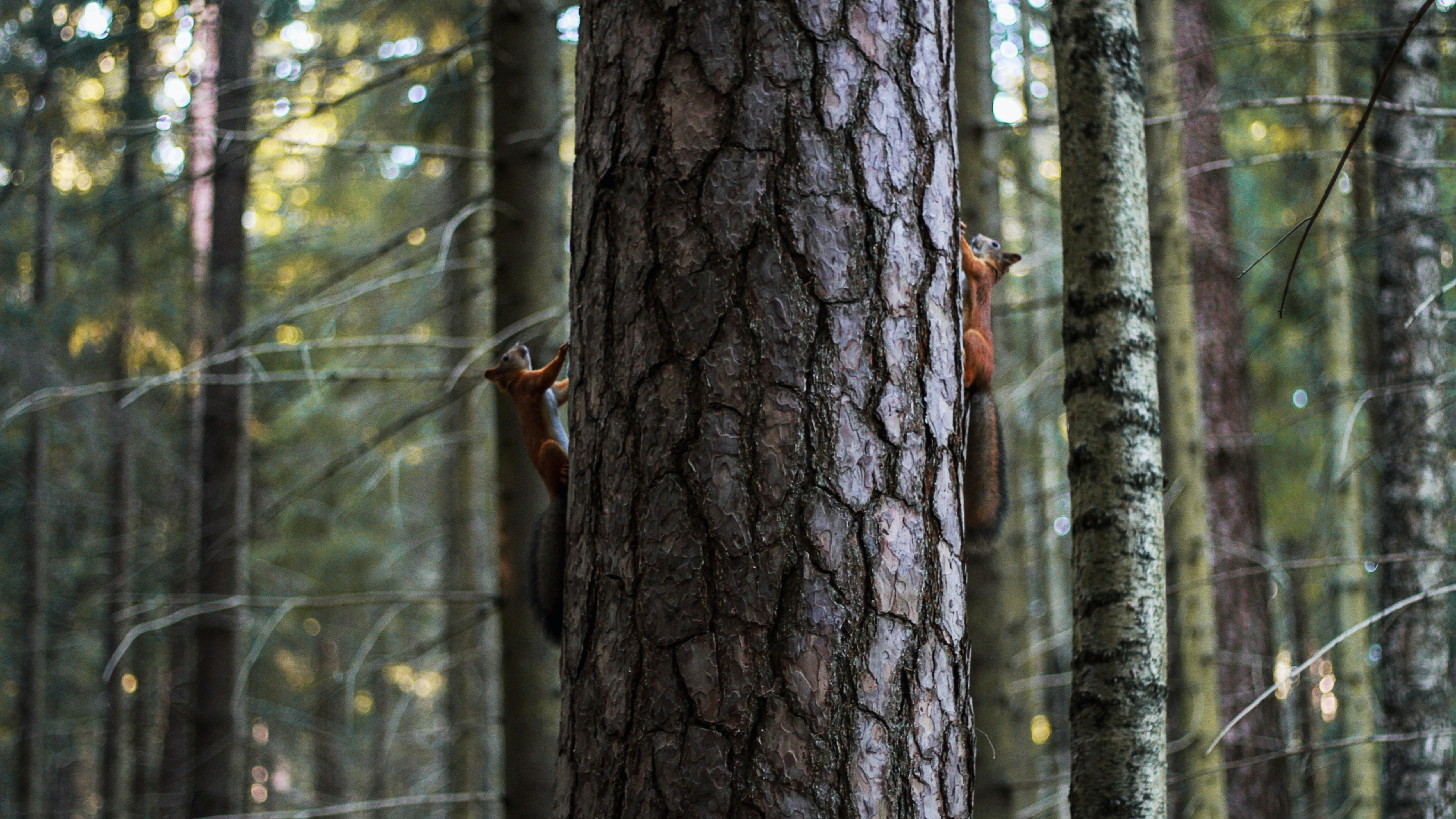 birch tree trunk photography