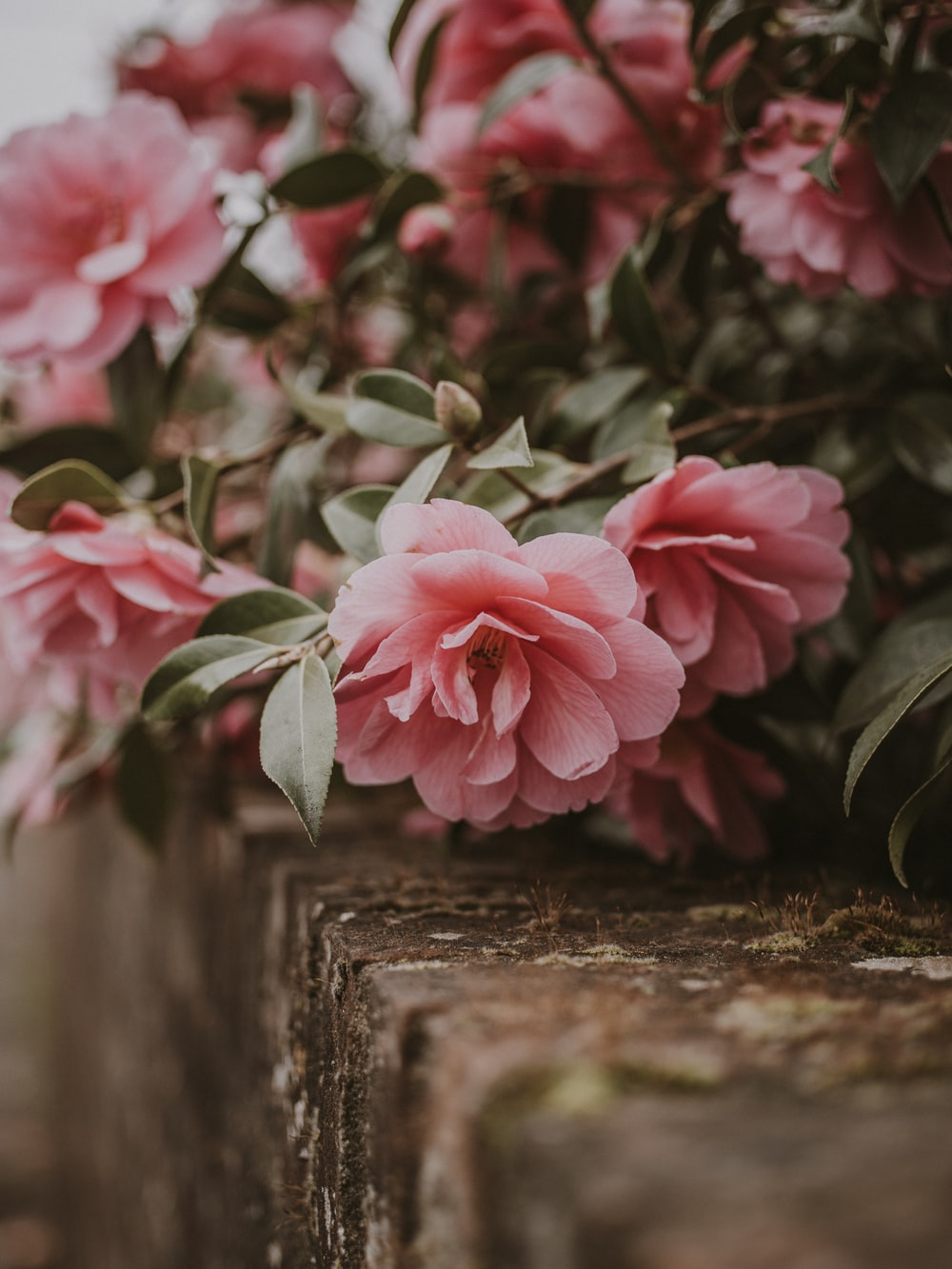 close up photo of pink flowers on wall