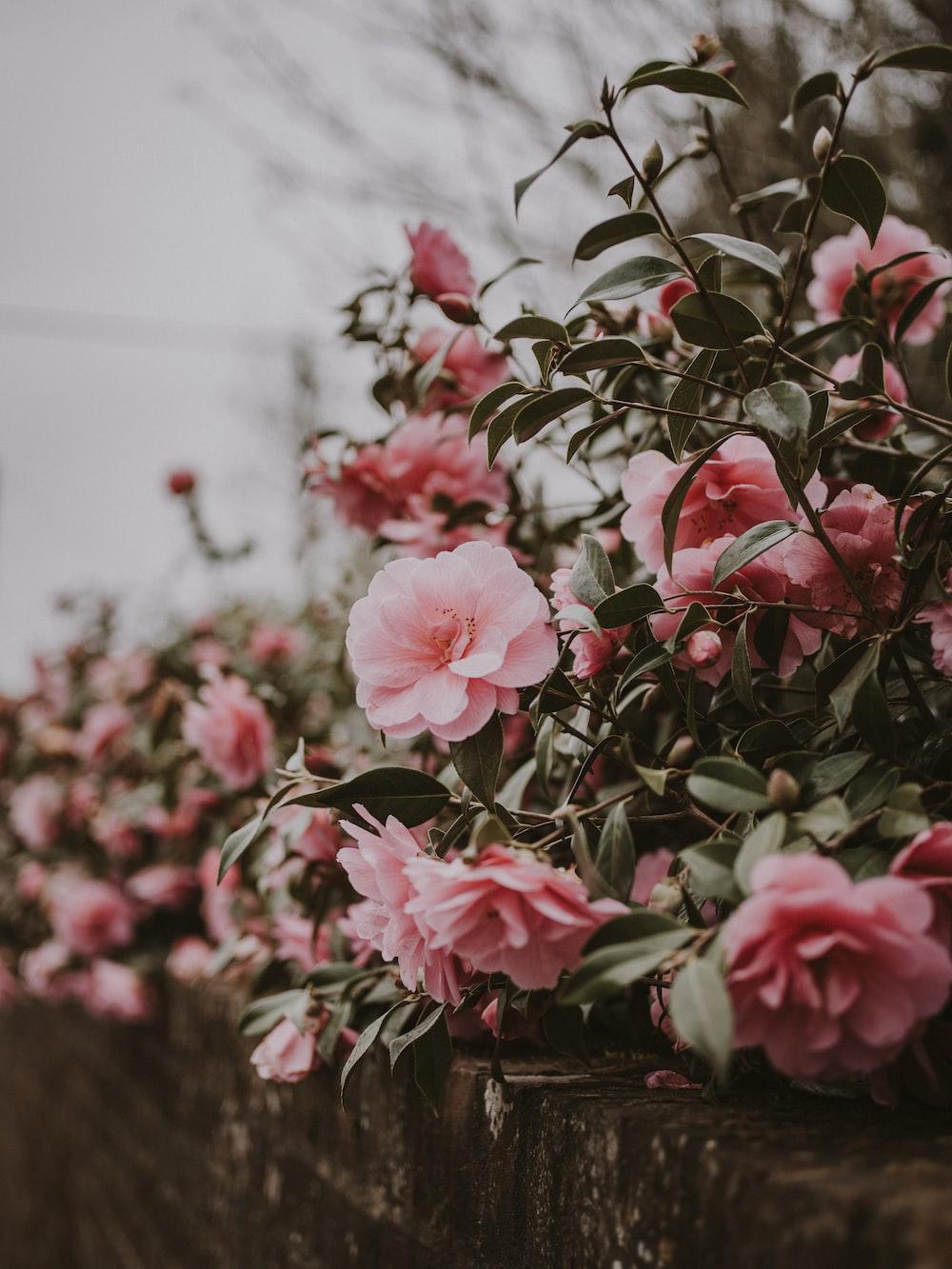 selective focus photo of peony flower
