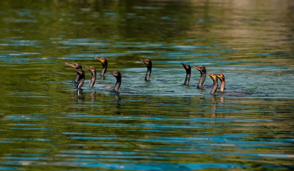 group of ducks