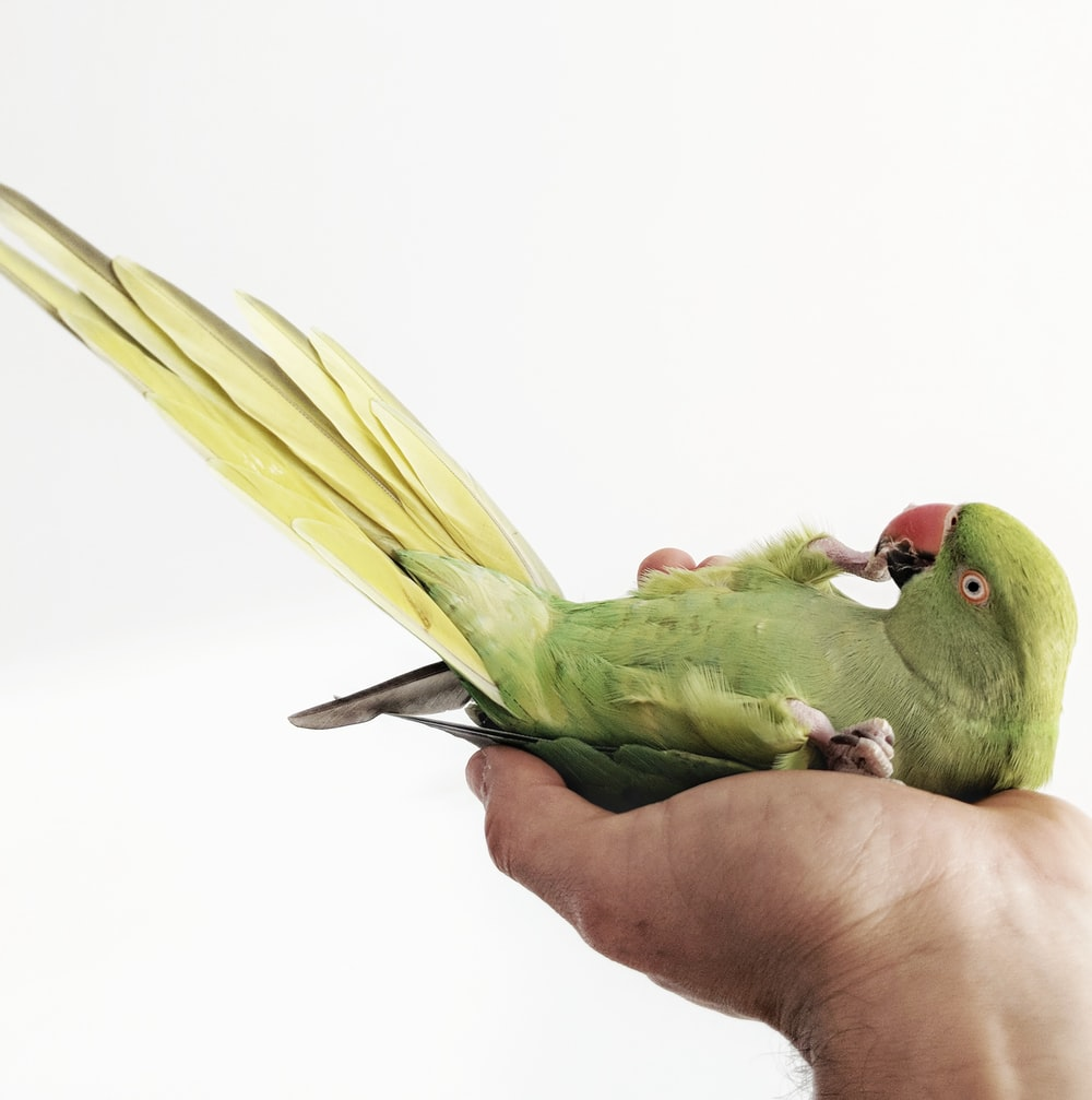 green parrot on person's palm