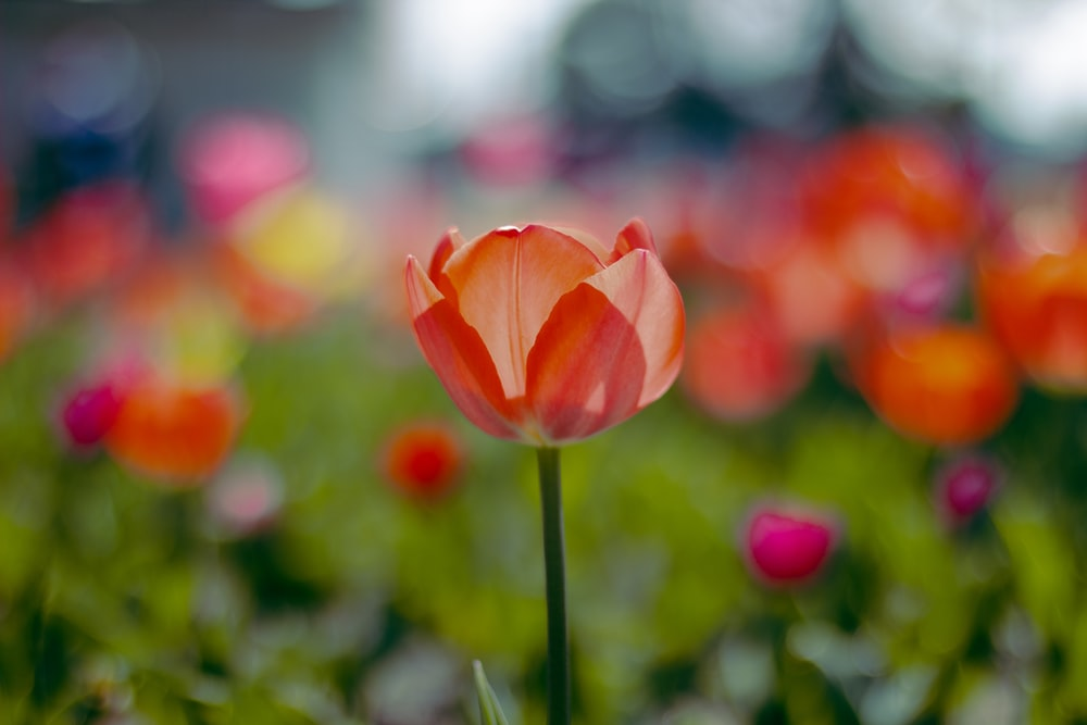 selective focus photo of tulips flower