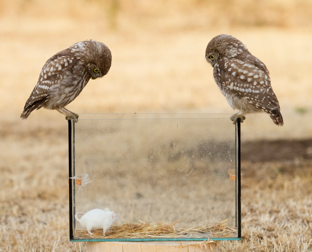 two brown owls on pet tank