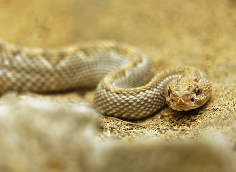 selective focus photo of rattlesnake