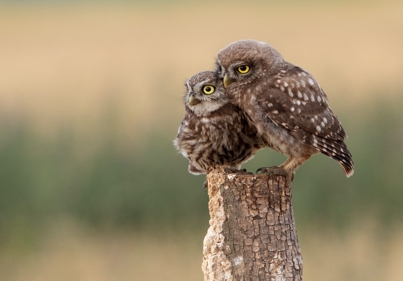 two brown owls perched on wooden post