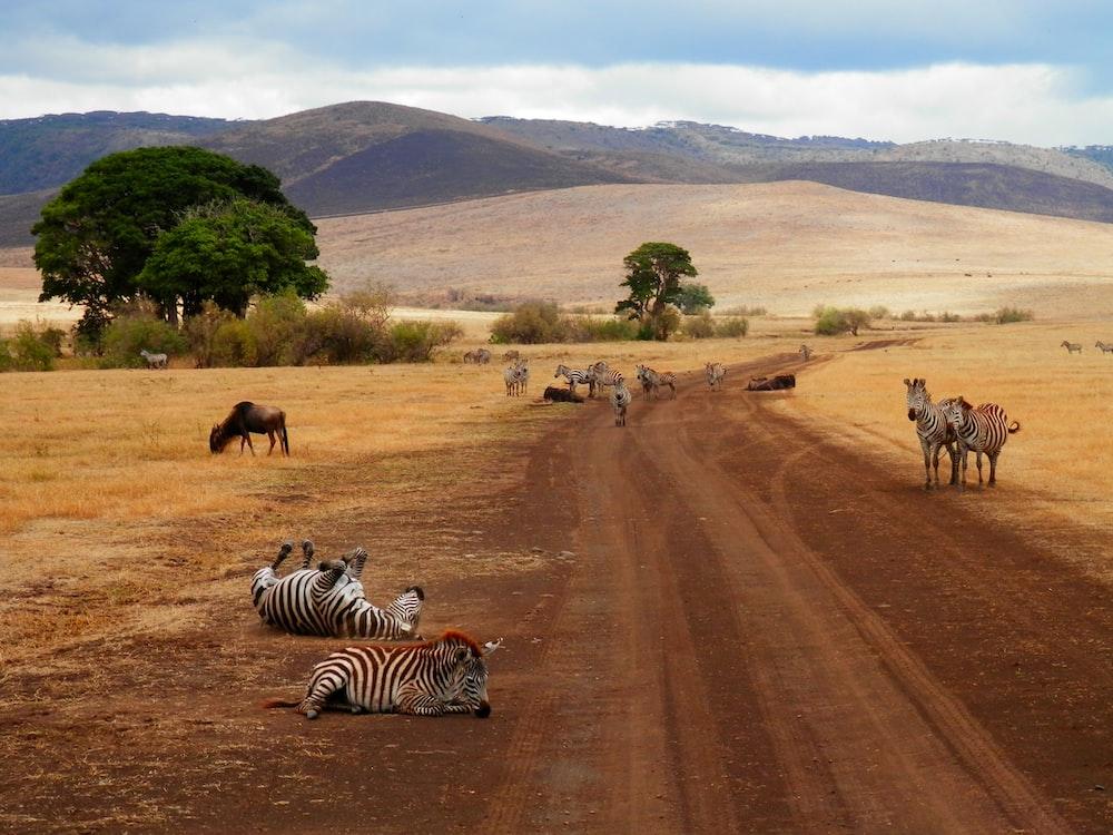 group of zebra on desert