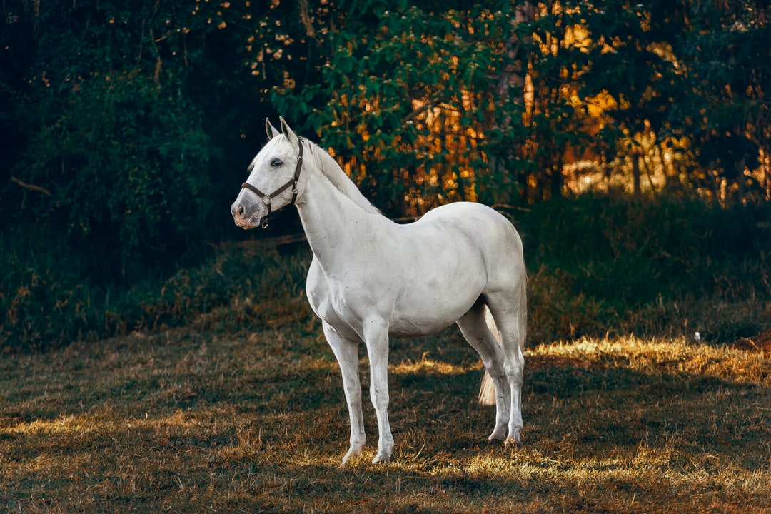 What Is The Most Loyal Horse Breed?