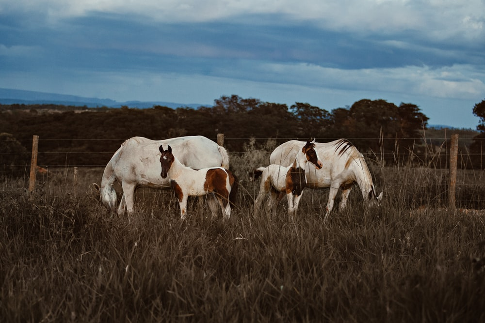 two white horse with two young horses
