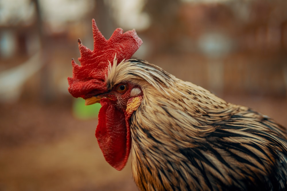close-up photography of white and black asil rooster