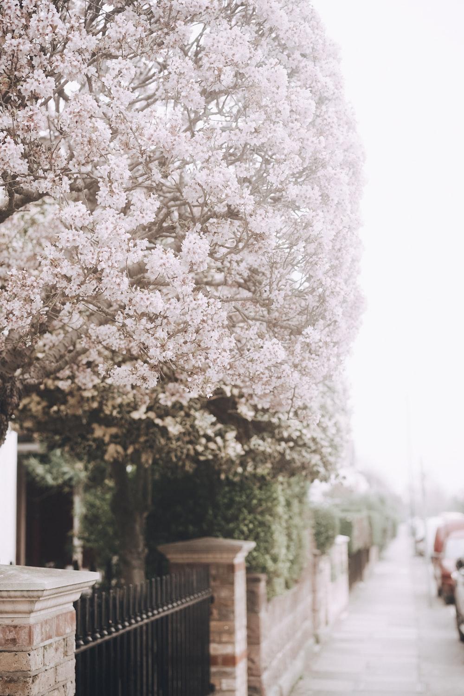 full bloom cherry blossoms tree