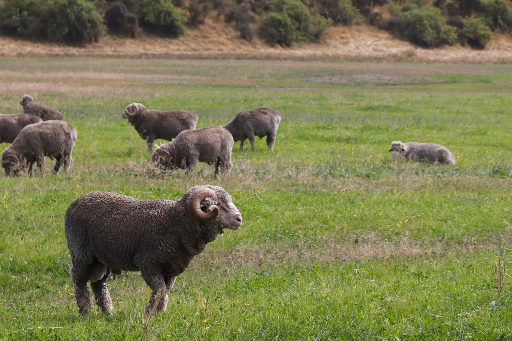 herds of sheep on green field