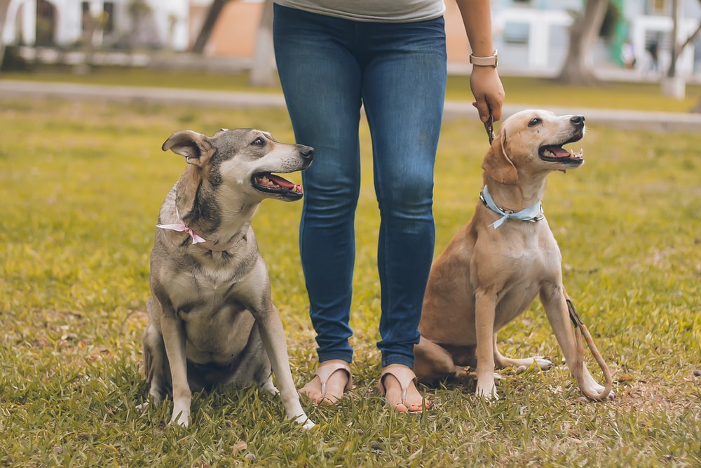 person standing between brown dogs