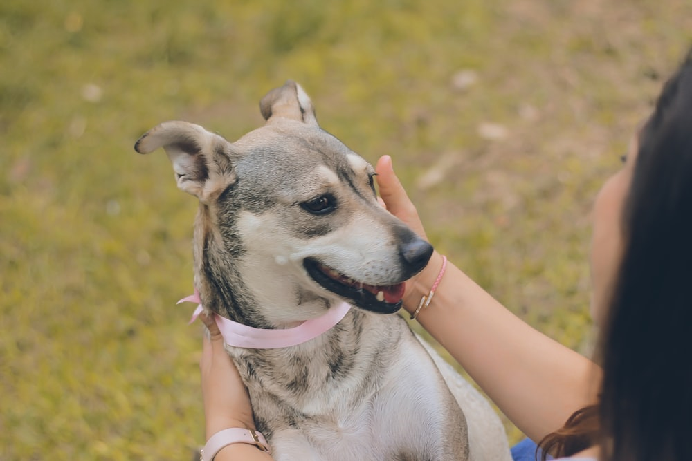 shallow focus photo of short-coated gray dog
