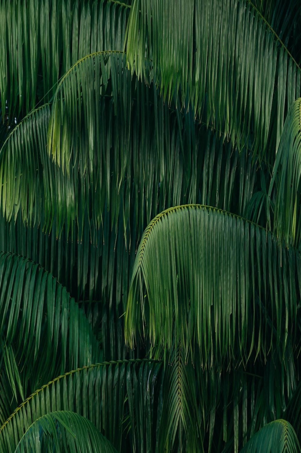 green coconut trees