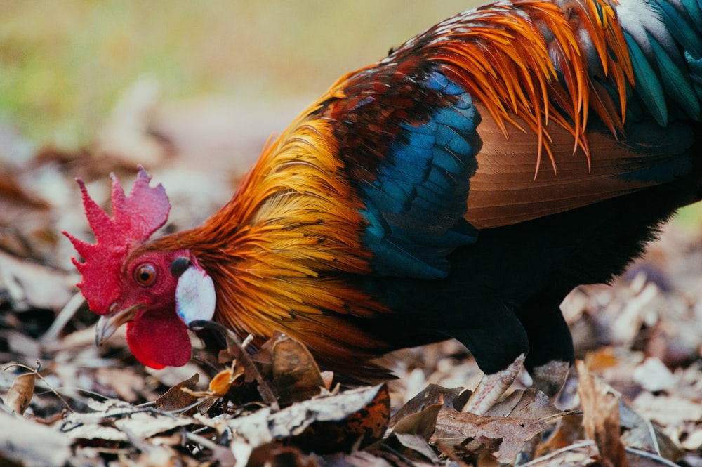 shallow focus photo of black, brown, and red rooster