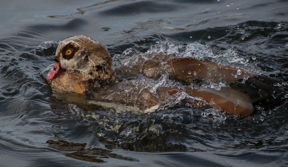 duck soaking on water