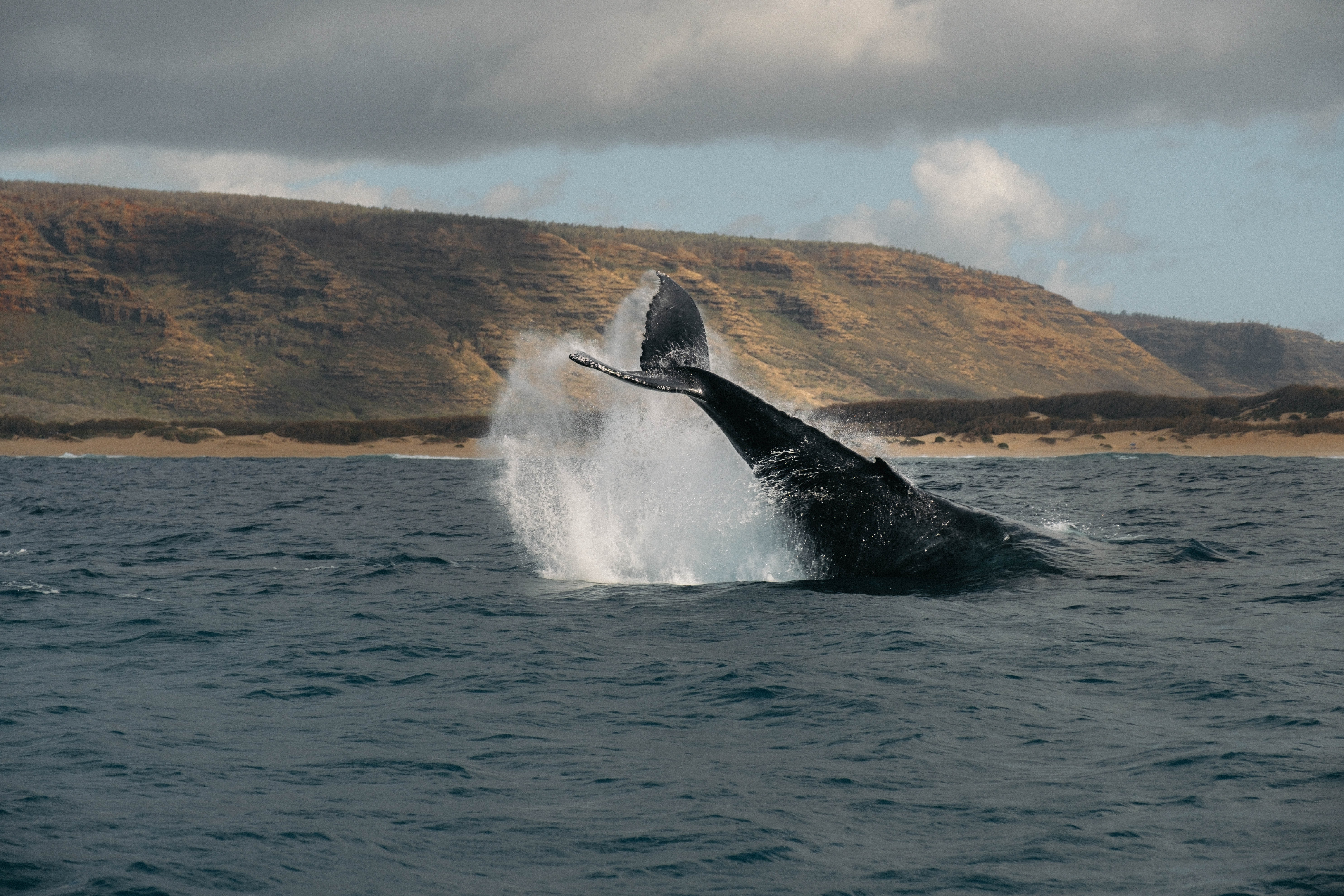whales tale during breach at sea