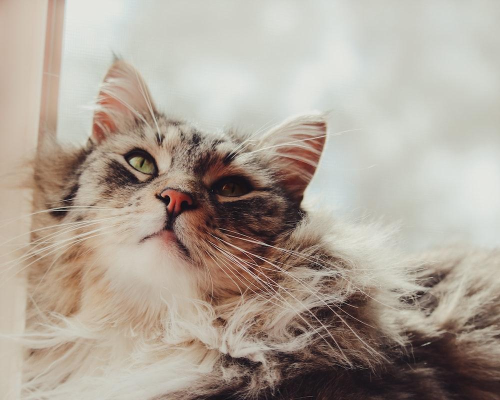 long-fur brown cat