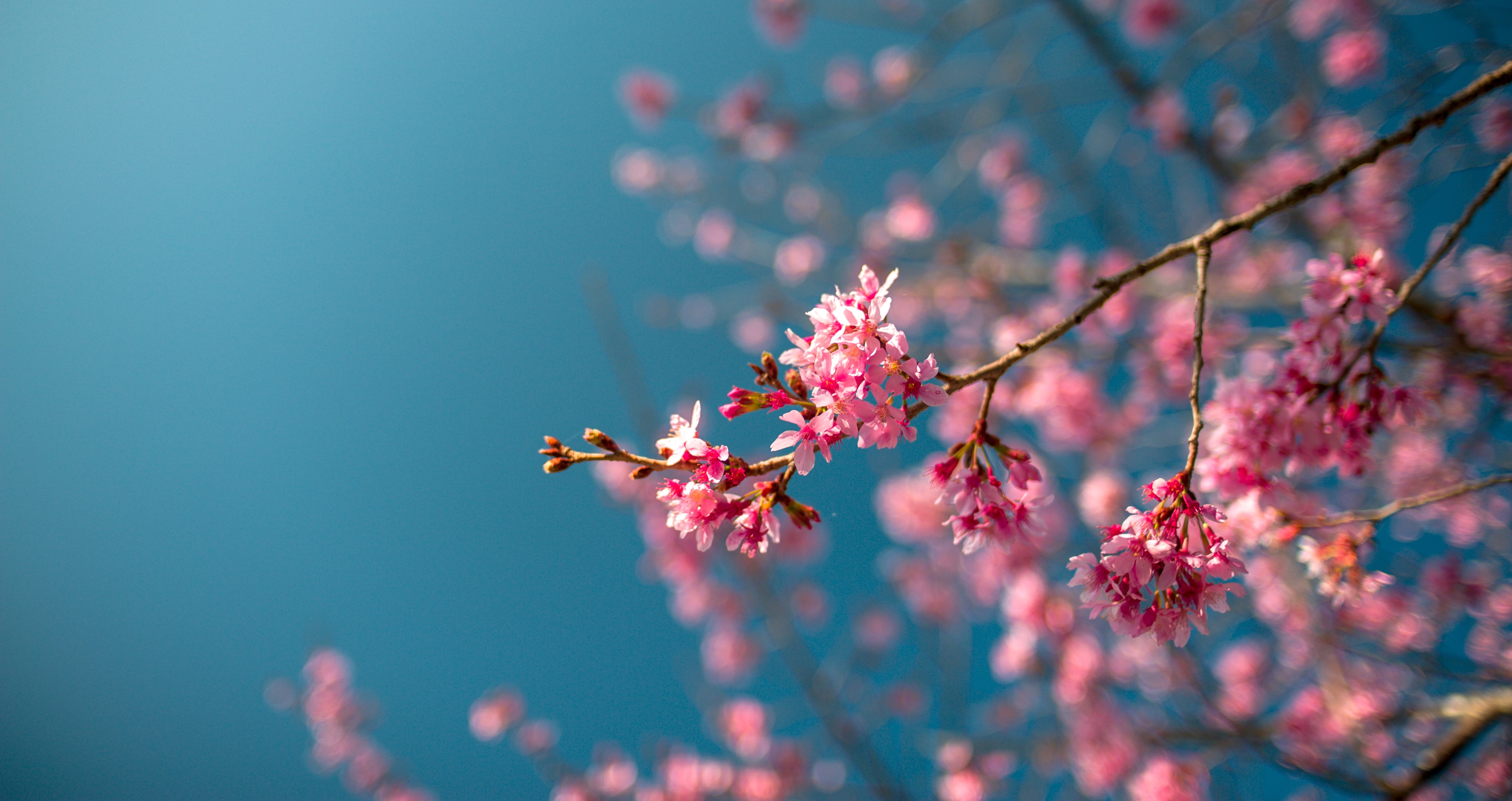 selective focus photography of pink-petaled flowers