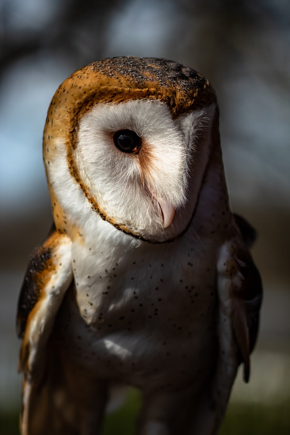 close-up of white and brown barn owl
