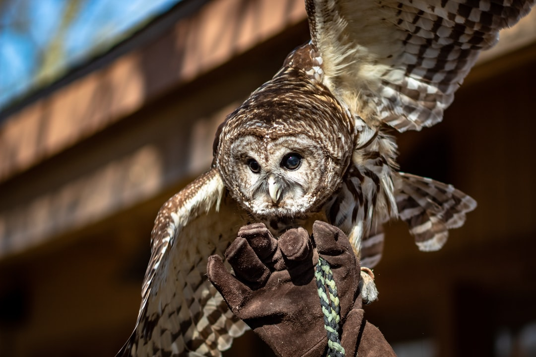 A barred owl spreads its wings while its handler holds on.  This owl was injured by a car and is being cared for by park rangers at Meeman-Shelby Forest State Park.