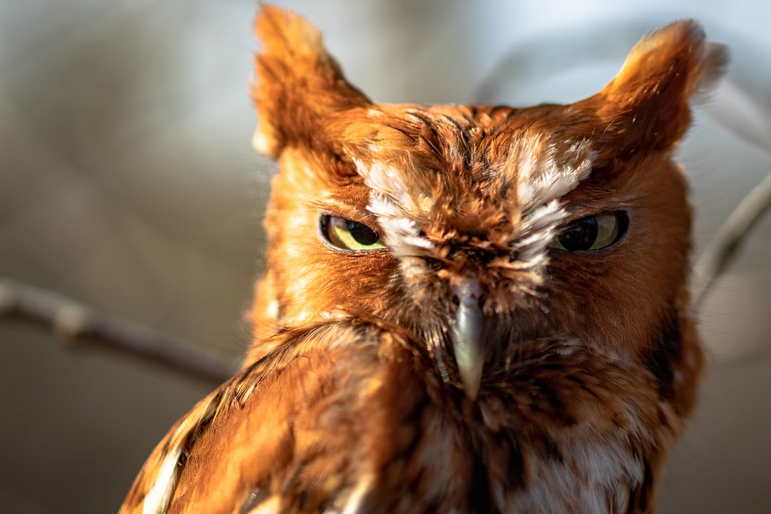 A screech owl squints at me as I take its photo.  It was injured by a car and is being cared for by park rangers at Meeman-Shelby Forest State Park.