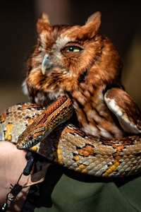 A ranger at Meeman-Shelby Forest State park holds both a screech owl and a corn snake together on her arm.  Neither really seemed to mind…they were rather indifferent with each other.