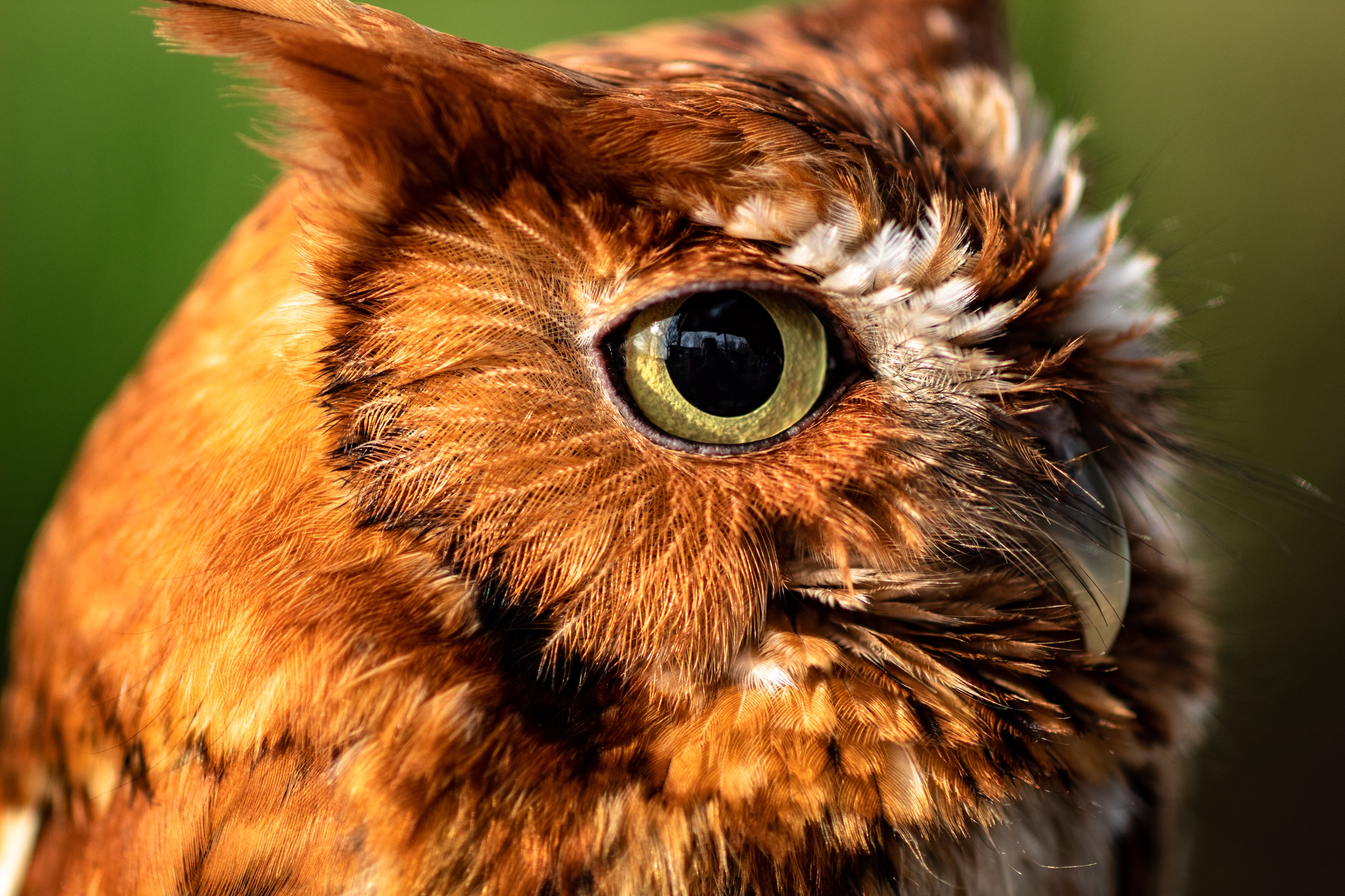 brown and white owl photography