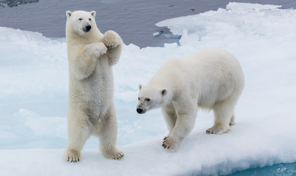 two polar bears